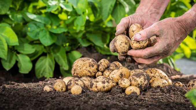 Grüne Stellen an Kartoffeln - © mjaud